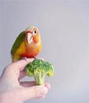 تغذیه طوطی سانان