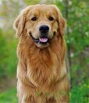 لپتوسپیروز در سگ