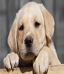 بیماری پارواویروس سگ